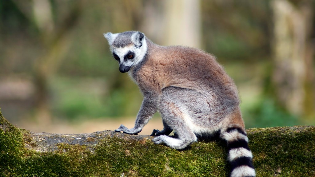 Un Lemuri