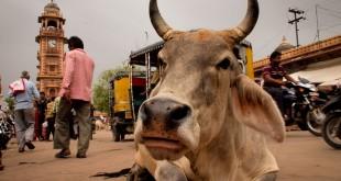 Vaca sagrada en la India