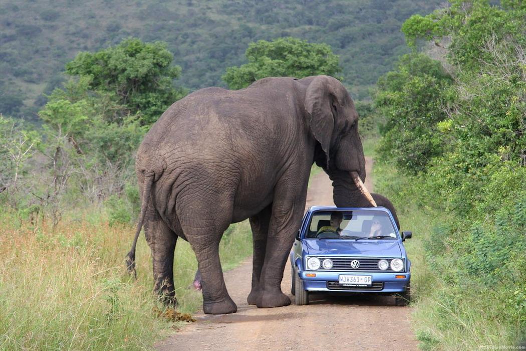 Elefante descansando su trompa