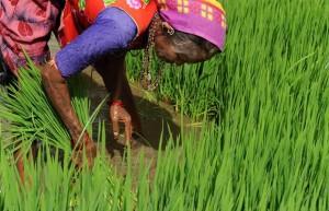 Campo de arroz, La India