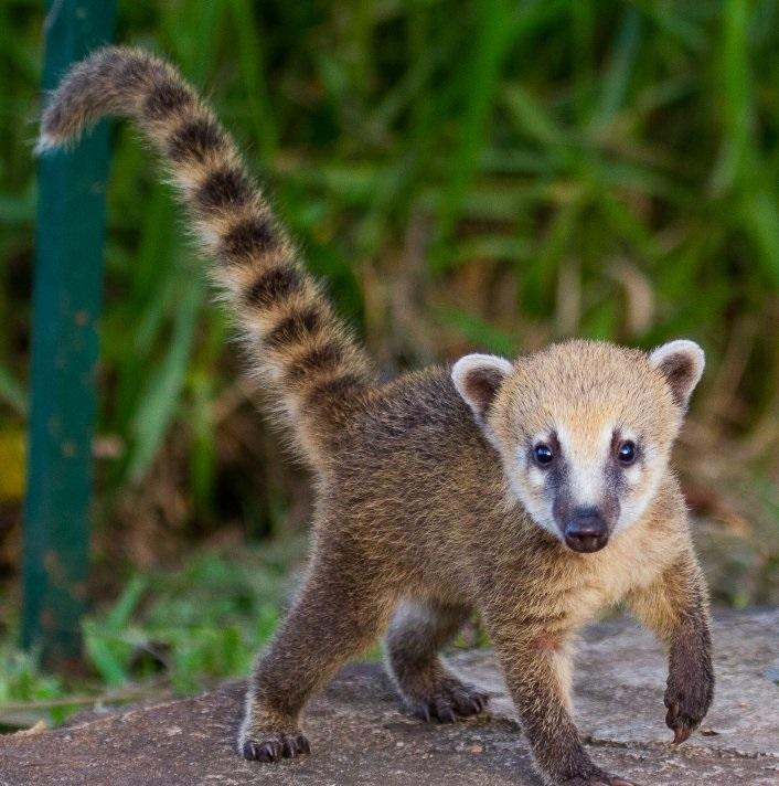 El coatí, un animal presente en el parque nacional de iguazú