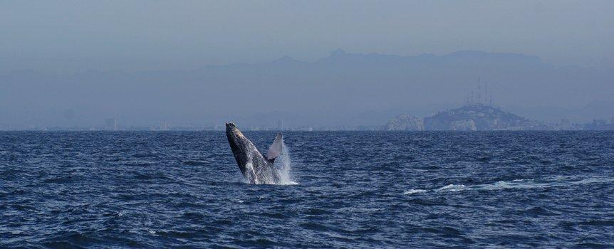 ballena jorobada en mazatlan